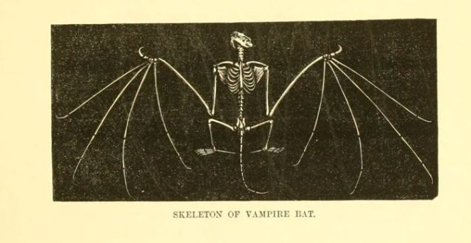 gravures_histoire_naturelle_animaux_-_squelette_de_chauve-souris_vampire